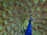 Indian Peafowl (Pavo Cristatus) Male with Tail Fanned Out in Courtship Display Photographic Print by Tim Fitzharris/Minden Pictures