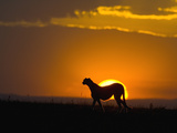 Cheetah (Acinonyx Jubatus) Female Silhouetted at Sunset, Maasai Mara Reserve, Kenya Photographie par Suzi Eszterhas/Minden Pictures
