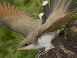 Yellow-Billed Cuckoo (Coccyzus Americanus) Displaying, Rio Grande Valley, Texas Photographic Print by Tom Vezo/Minden Pictures