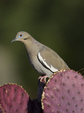 White-Winged Dove (Zenaida Asiatica) on Cactus, Green Valley, Arizona Photographic Print by Tom Vezo/Minden Pictures