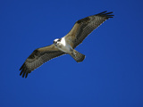Osprey (Pandion Haliaetus) in Flight, Long Island, New York Fotografie-Druck von Tom Vezo/Minden Pictures