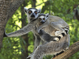 Ring-Tailed Lemur (Lemur Catta) Female and Baby, Berenty Private Reserve, Madagascar Photographic Print by Thomas Marent/Minden Pictures