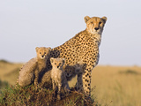 Cheetah (Acinonyx Jubatus) Mother and Eight Week Old Cubs, Maasai Mara Reserve, Kenya Photographic Print by Suzi Eszterhas/Minden Pictures