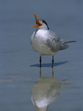 Royal Tern (Sterna Maxima) Calling, Fort Myers Beach, Florida Photographic Print by Theo Allofs/Minden Pictures