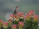 Cape Sugarbird (Promerops Cafer) Male Perching on Protea Flowers (Mimetes Protea) Photographic Print by Gerry Ellis