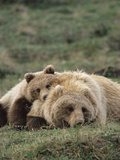 Alaskan Brown Bear or Grizzly Bear (Ursus Arctos) Mother and Cub Resting, Denali , Alaska Fotografiskt tryck av Michael S. Quinton