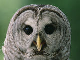 Barred Owl (Strix Varia), North America Photographic Print by Gerry Ellis