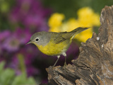 Nashville Warbler (Vermivora Ruficapilla) Male, Rio Grande Valley, Texas Photographic Print by Tom Vezo/Minden Pictures
