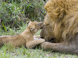 African Lion (Panthera Leo)Cub Playing with Adult Male, Vulnerable, Masai Mara Nat'l Reserve, Kenya Fotografie-Druck von Suzi Eszterhas/Minden Pictures