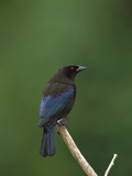 Bronzed Cowbird (Molothrus Aeneus) Perched on a Stick, Costa Rica Photographic Print by Tom Vezo/Minden Pictures