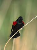 Red-Winged Blackbird (Agelaius Phoeniceus) Male Singing and Displaying from Perch, Tucson, Arizona Photographic Print by Tom Vezo/Minden Pictures