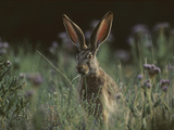 Black-Tailed Jackrabbit (Lepus Californicus), /Neating Grass, North America Photographic Print by Tim Fitzharris/Minden Pictures