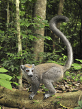 Crowned Lemur (Eulemur Coronatus) Female, Ankarana Special Reserve, Madagascar Photographic Print by Thomas Marent/Minden Pictures
