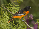 Baltimore Oriole (Icterus Galbula) Male Perched on a Branch, Rio Grande Valley, Texas Photographic Print by Tom Vezo/Minden Pictures
