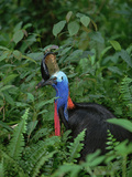 Southern Cassowary (Casuarius Casuarius) Standing in Dense Vegetation, Queensland Photographic Print by Konrad Wothe