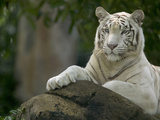 Melanistic or White Bengal Tiger (Panthera Tigris Tigris) Adult Resting Photographic Print by Cyril Ruoso