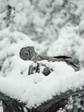 Great Gray Owl (Strix Nebulosa) Incubating Eggs on Nest While Covered with Snow, Idaho Photographic Print by Michael S. Quinton
