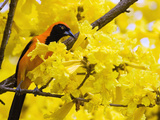 Troupial (Icterus Icterus) Perched in Flowering Tree, Cerrado Ecosystem, Brazil Photographic Print by Luciano Candisani/Minden Pictures