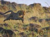 Leopard (Panthera Pardus) Running, Masai Mara, Kenya Photographic Print by Suzi Eszterhas/Minden Pictures