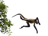 Black-Handed Spider Monkey (Ateles Geoffroyi) Jumping from Tree, Santa Rosa Nat'l Park, Costa Rica Photographic Print by Ingo Arndt/Minden Pictures