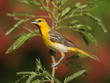 Bullock's Oriole (Icterus Bullockii) Juvenile Male, Santa Rita Mountains, Arizona Photographic Print by Tom Vezo/Minden Pictures