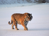 Siberian Tiger (Panthera Tigris Altaica) Walking across Snow Photographic Print by Konrad Wothe