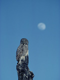 Great Gray Owl (Strix Nebulosa) Adult Perching on a Snag with Full Moon Behind, Idaho Photographic Print by Michael S. Quinton