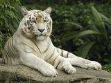 Tiger (Panthera Tigris), White Morph, Captive Animal, Singapore Photographic Print by Thomas Marent/Minden Pictures