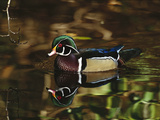 Wood Duck (Aix Sponsa) Male with Reflection in Lake, Vancouver, British Columbia Fotografie-Druck von Tom Vezo/Minden Pictures