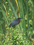 Green Heron (Butorides Virescens) Perching on Reeds, Everglades Nat'l Park, Florida Photographic Print by Tom Vezo/Minden Pictures