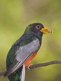 Elegant Trogon (Trogon Elegans) Male with Caterpillar in it's Beak, Santa Rita Mountains, Arizona Fotografie-Druck von Tom Vezo/Minden Pictures