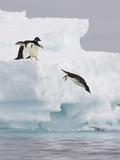 Adelie Penguin (Pygoscelis Adeliae) Diving Off Iceberg into Icy Water, Paulet Island, Antarctica Photographic Print by Suzi Eszterhas/Minden Pictures