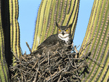 Great Horned Owl (Bubo Virginianus) Nesting in Saguaro (Cereus Gigantea) Cactus, Tucson, Arizona Reproduction photographique par Tom Vezo/Minden Pictures