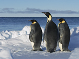 Emperor Penguin (Aptenodytes Forsteri) Trio on Edge of Ice, Antarctica Photographic Print by Konrad Wothe