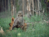 Great Gray Owl (Strix Nebulosa) Perching on Fallen Tree on Forest Floor, Idaho Photographic Print by Michael S. Quinton