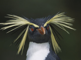 Rockhopper Penguin (Eudyptes Chrysocome) Portrait, Gough Island, South Atlantic Photographic Print by Tui De Roy/Minden Pictures