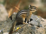 Lodgepole Chipmunk (Tamias Speciosus) Portrait on Rocks, Yellowstone Nat'l Park, Wyoming Photographic Print by Tom Vezo/Minden Pictures