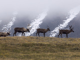 Caribou (Rangifer Tarandus) Group on Hillside, Kamchatka, Russia Photographic Print by Sergey Gorshkov/Minden Pictures