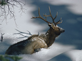 Elk or Wapiti (Cervus Elaphus) in Deep Snow, Yellowstone National Park, Wyoming Photographic Print by Michael S. Quinton
