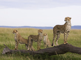 Cheetah (Acinonyx Jubatus) Mother and 6 Month Old Cubs, Masai Mara Nat'l Reserve, Kenya Fotografisk tryk af Suzi Eszterhas/Minden Pictures