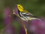 Black-Throated Green Warbler (Dendroica Virens) Male Perched on a Branch, Rio Grande Valley, Texas Photographic Print by Tom Vezo/Minden Pictures