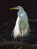 Great Egret (Casmerodius Albus) in Breeding Plumage, Corkscrew Swamp, Florida Photographic Print by Theo Allofs/Minden Pictures