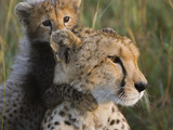 Cheetah (Acinonyx Jubatus) Eight Week Old Cub Playing with Mother, Maasai Mara Reserve, Kenya Photographic Print by Suzi Eszterhas/Minden Pictures