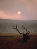 Elk or Wapiti (Cervus Elaphus) Resting in Tall Grass with Smoke, Yellowstone, Wyoming Photographic Print by Michael S. Quinton