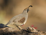 Gambel's Quail (Callipepla Gambelii) Male, Santa Rita Mountains, Arizona Fotografie-Druck von Tom Vezo/Minden Pictures