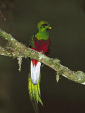 Resplendent Quetzal (Pharomachrus Mocinno) Female Perching in a Tree, Costa Rica Photographic Print by Tom Vezo/Minden Pictures