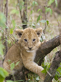 African Lion (Panthera Leo) 6 to 7 Week Old Cub Playing on Tree, Masai Mara Nat'l Reserve, Kenya Photographic Print by Suzi Eszterhas/Minden Pictures