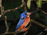 Blue-Eared Kingfisher (Alcedo Meninting), Borneo, Malaysia Photographic Print by Hiroya Minakuchi/Minden Pictures