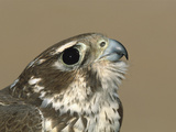 Prairie Falcon (Falco Mexicanus) Close-Up at Banding Station, Sulphur Springs Valley, Arizona Photographic Print by Tom Vezo/Minden Pictures