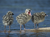 Mew Gull (Larus Canus) Three Chicks Standing on Submerged Log with One Calling, Anchorage, Alaska Fotodruck von Tom Vezo/Minden Pictures